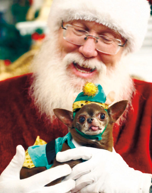 DOGGIE'S BEEN NICE. A chihuahua wearing a guinea pig elf costume poses with Santa. (AP PHOTO)