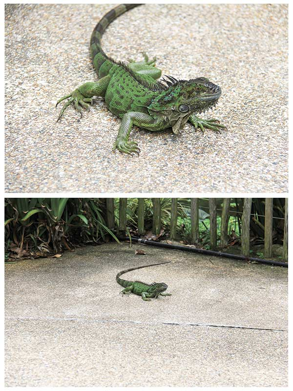 Lizard at Jurong Bird Park in Singapore. Photographed from an angle closer to ground level, the top photo of the lizard provides more impact compared to the other image. In short, be willing to bend your knees or even lie on the ground to give viewers a fresh perspective. (AP FOTO)